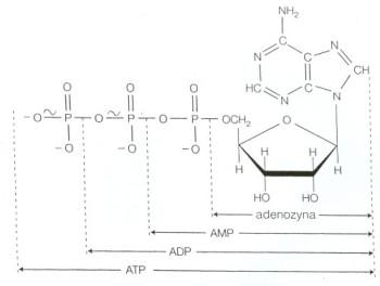 struktura ATP